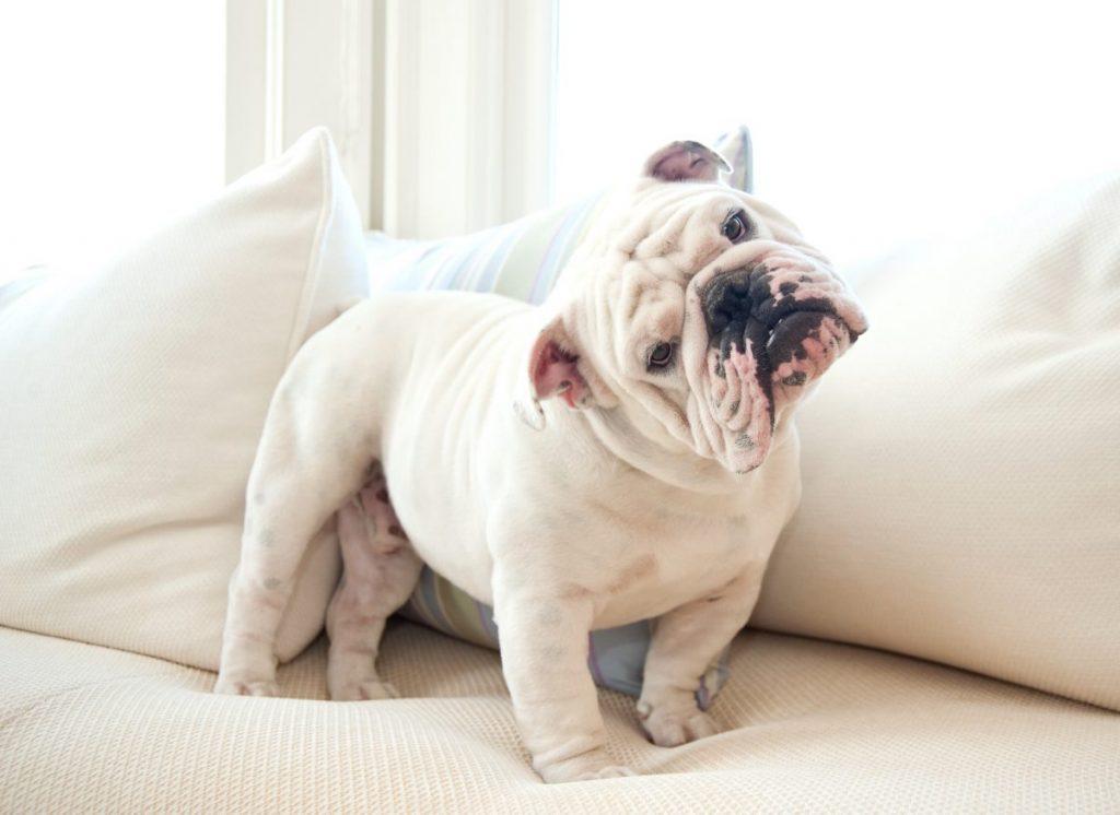 english bulldog quiet dogs