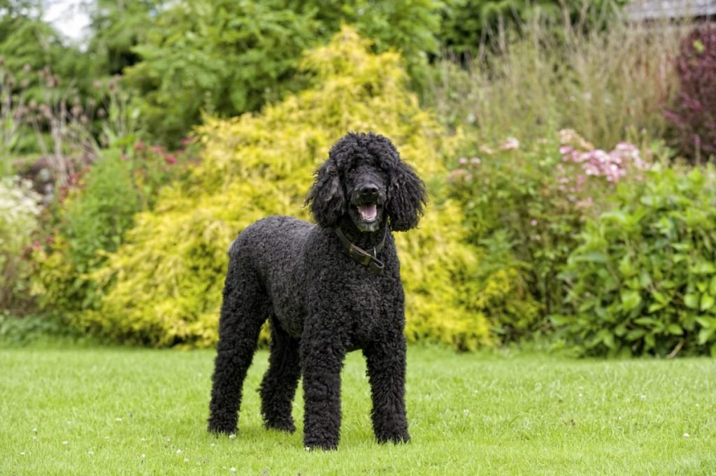 are poodles hypoallergenic
