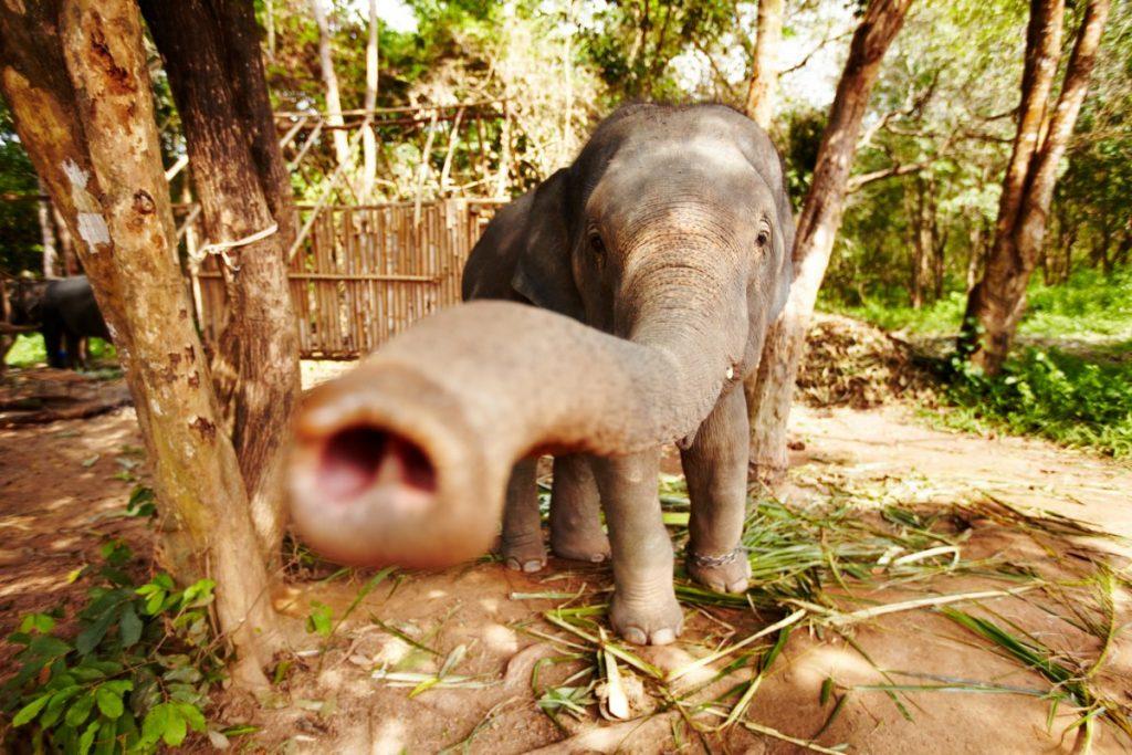 animal abuse elephant tiger Thailand