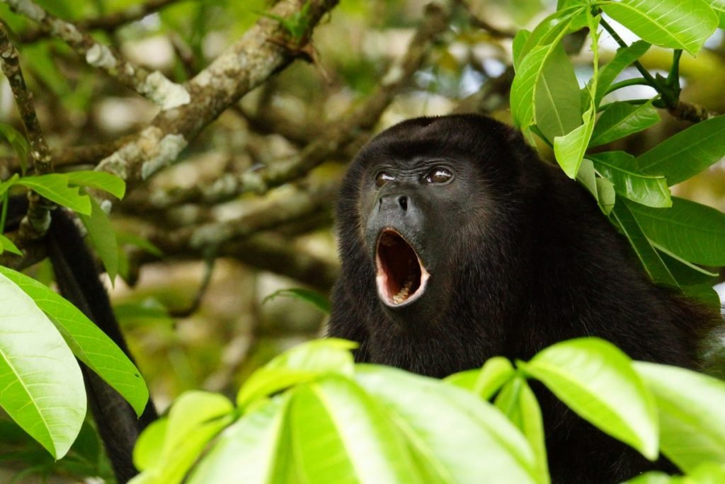 Community Baboon Sanctuary Howler Monkeys