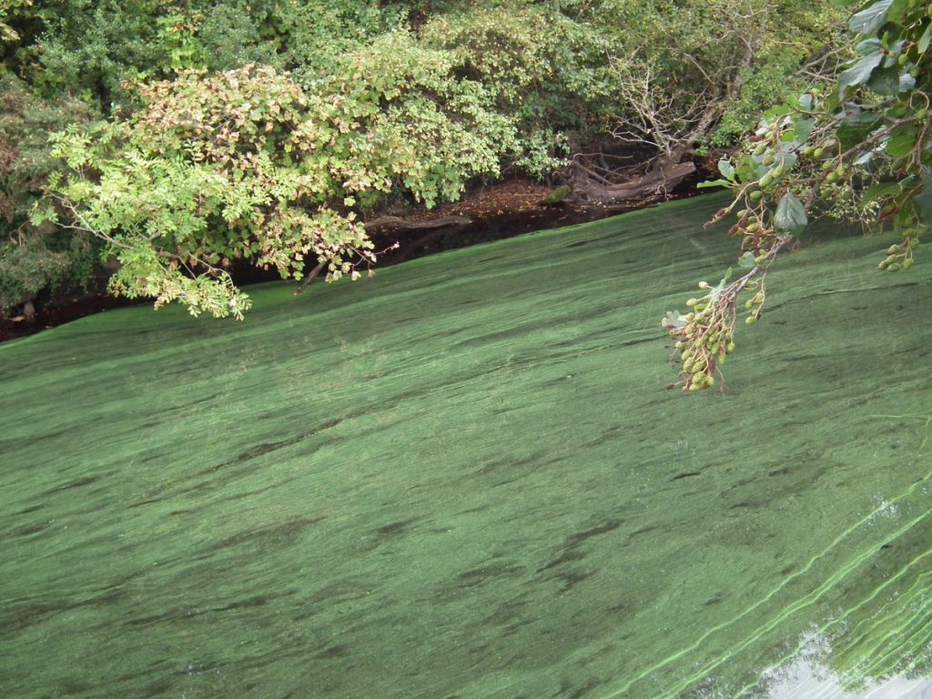 blooms blue-green algae