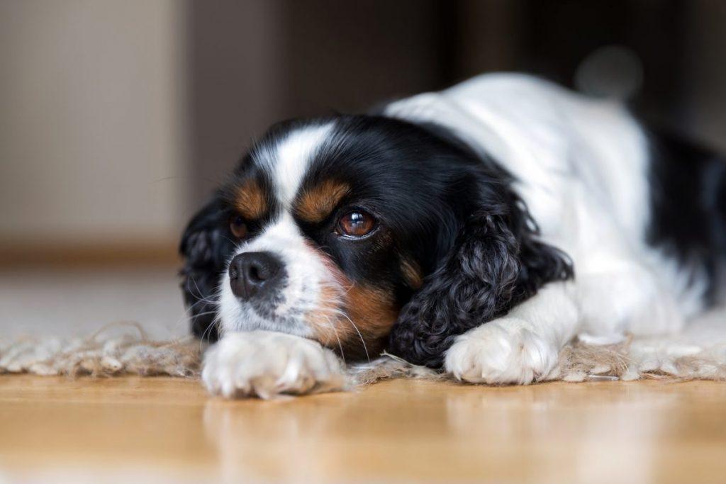 cavalier king charles don't bark