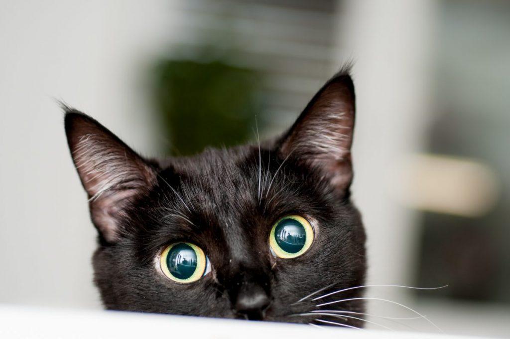 black cat nosy
