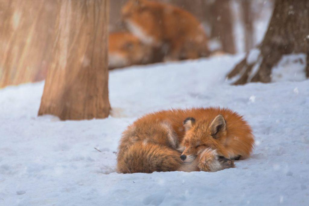 foliage red fox snow sendai japan