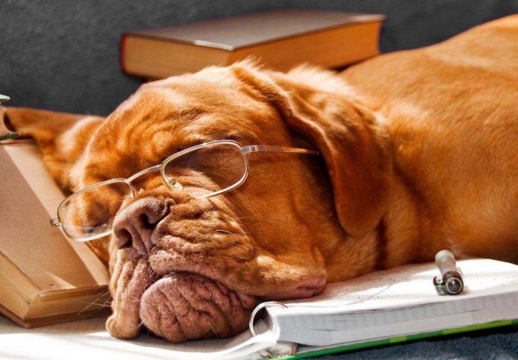 dogue de bordeaux french mastiff