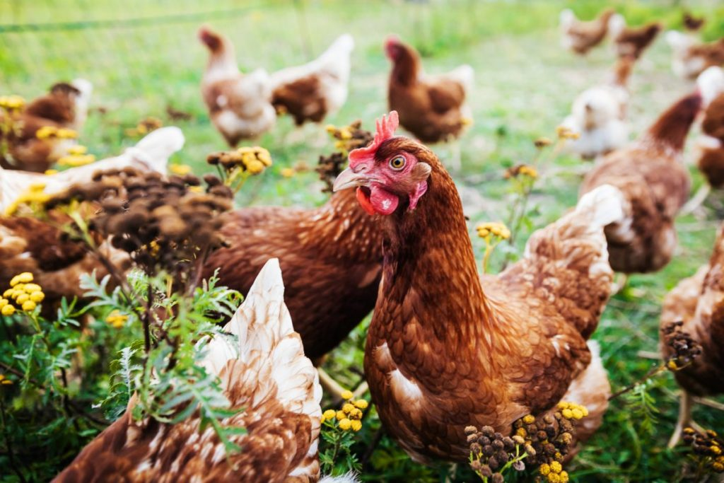 chicken thigh chicken breast healthy