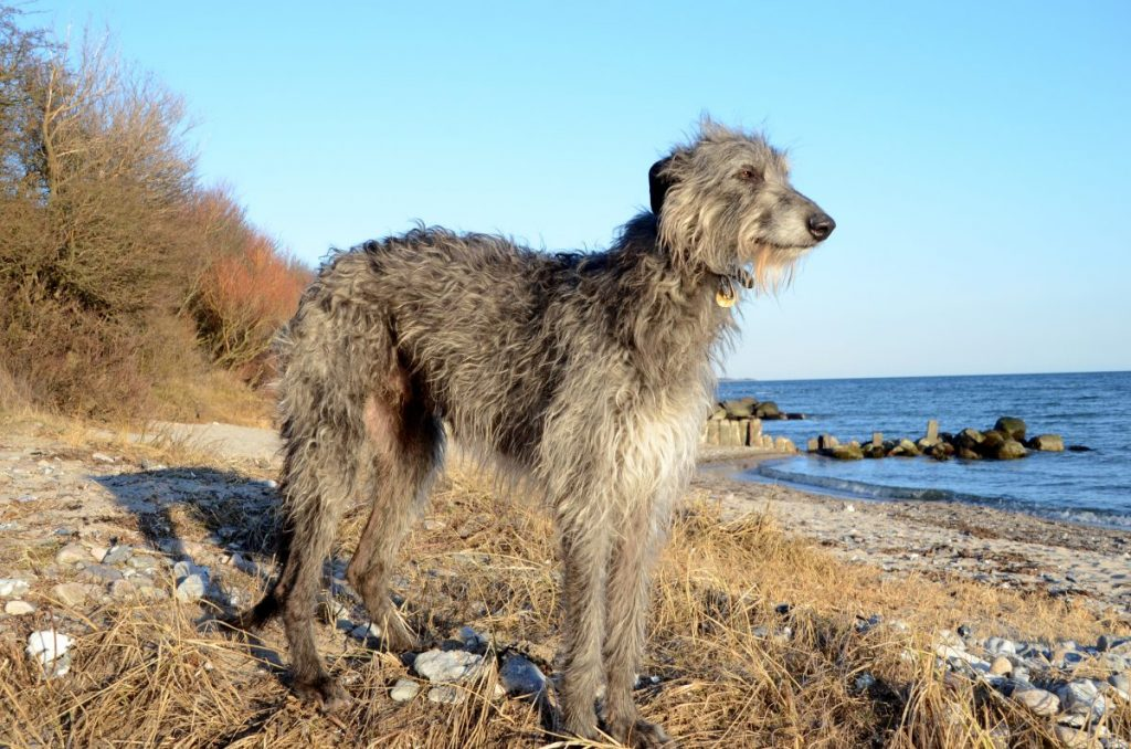 Scottish Deerhound Wiry Coat