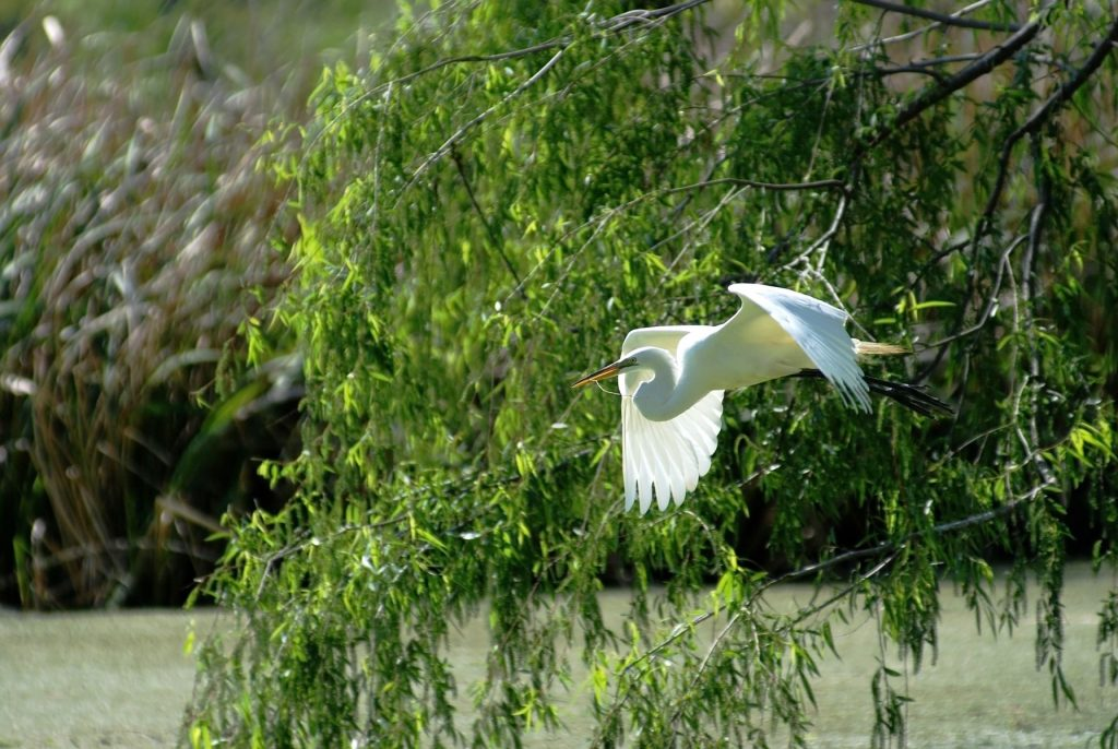 Great Egret in flight and carrying stick on Avery Island