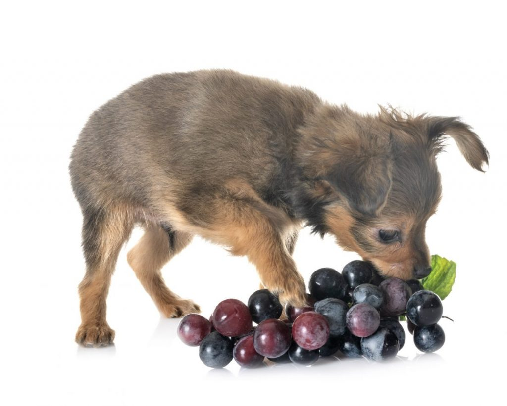 Puppy with grapes
