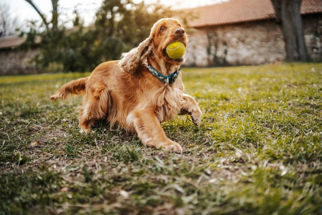 Brown Cocker spaniel with ball