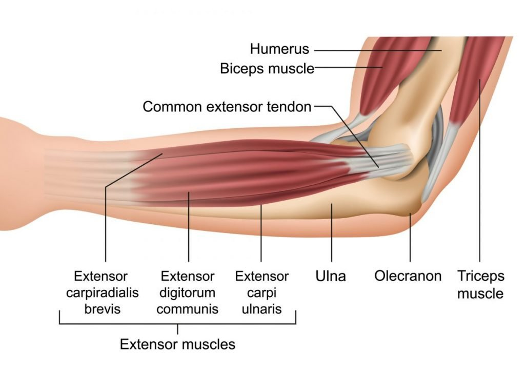 how muscles connect to bone