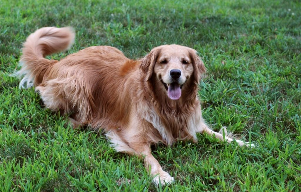 Happy golden retriever in grass