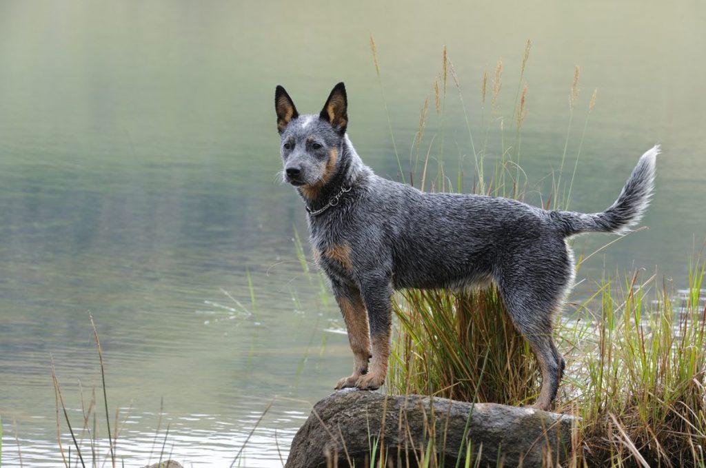Australian cattle dog by lake