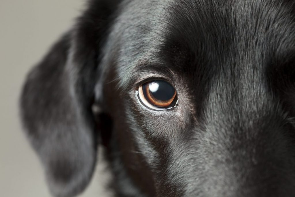 Close-up of black dog's eye