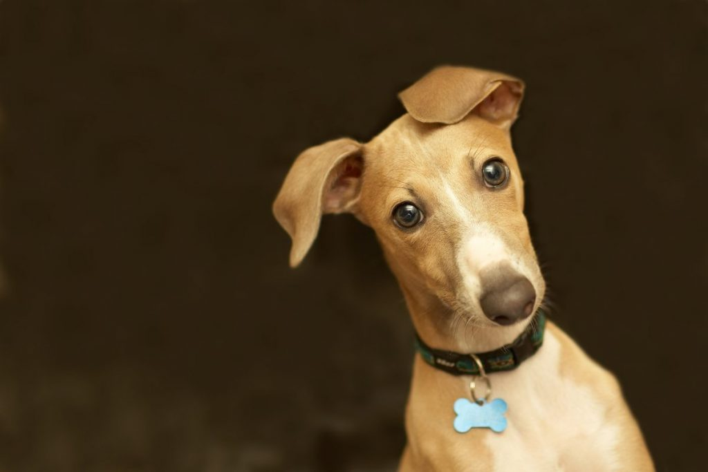 Confused-looking Italian greyhound