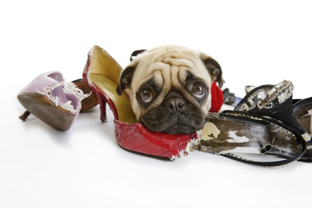Sad pug and chewed shoes