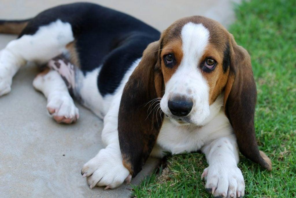 Basset hound puppy lying outside
