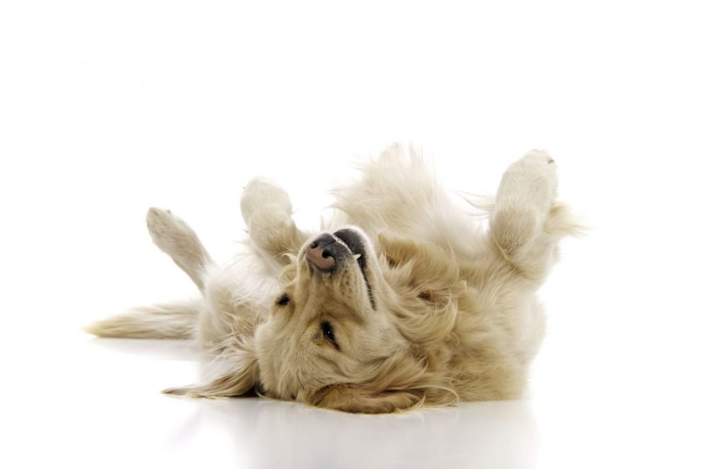 Golden retriever rolling over