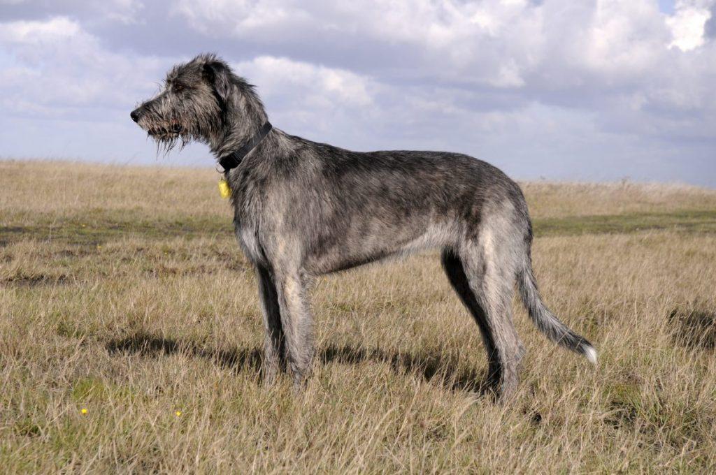 average irish wolfhound