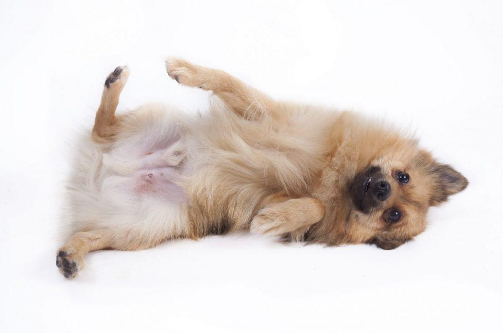 Pomeranian rolling over