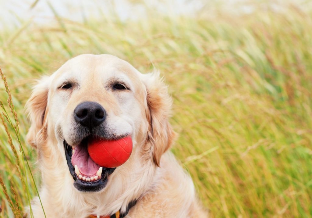 Happy golden retriever with red ball