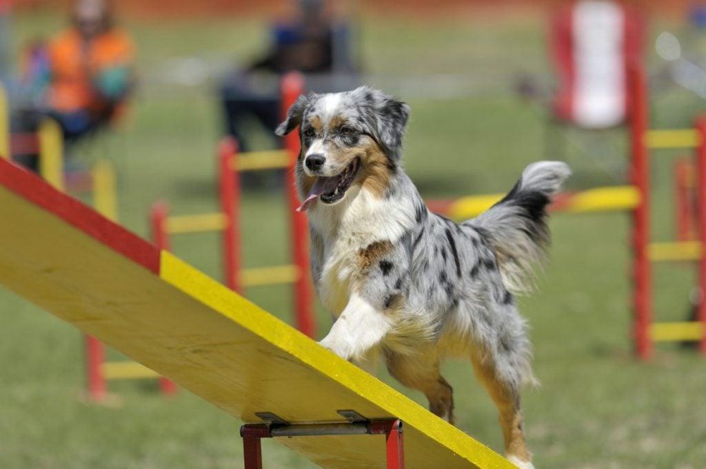 Australian shepherd on agility course