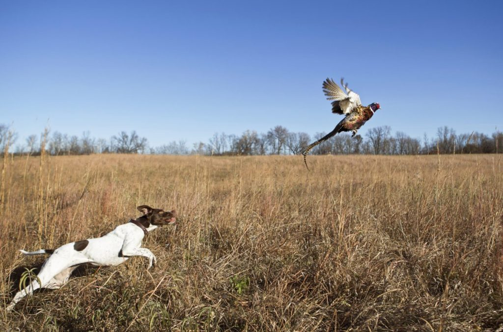 Dog chasing pheasant in field