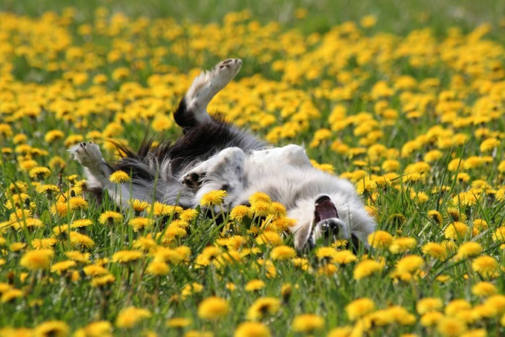Black-and-white dog rolling in wildflowers