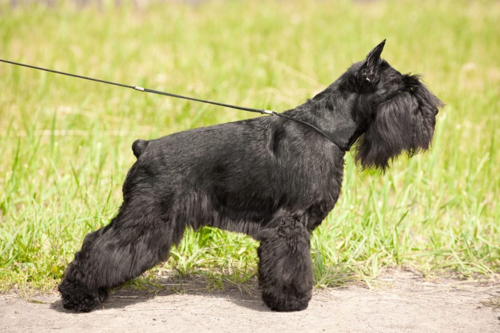 Schnauzer standing for show