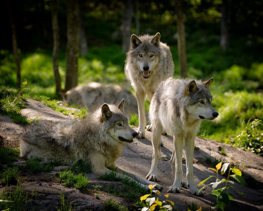 Three timber wolves on rock