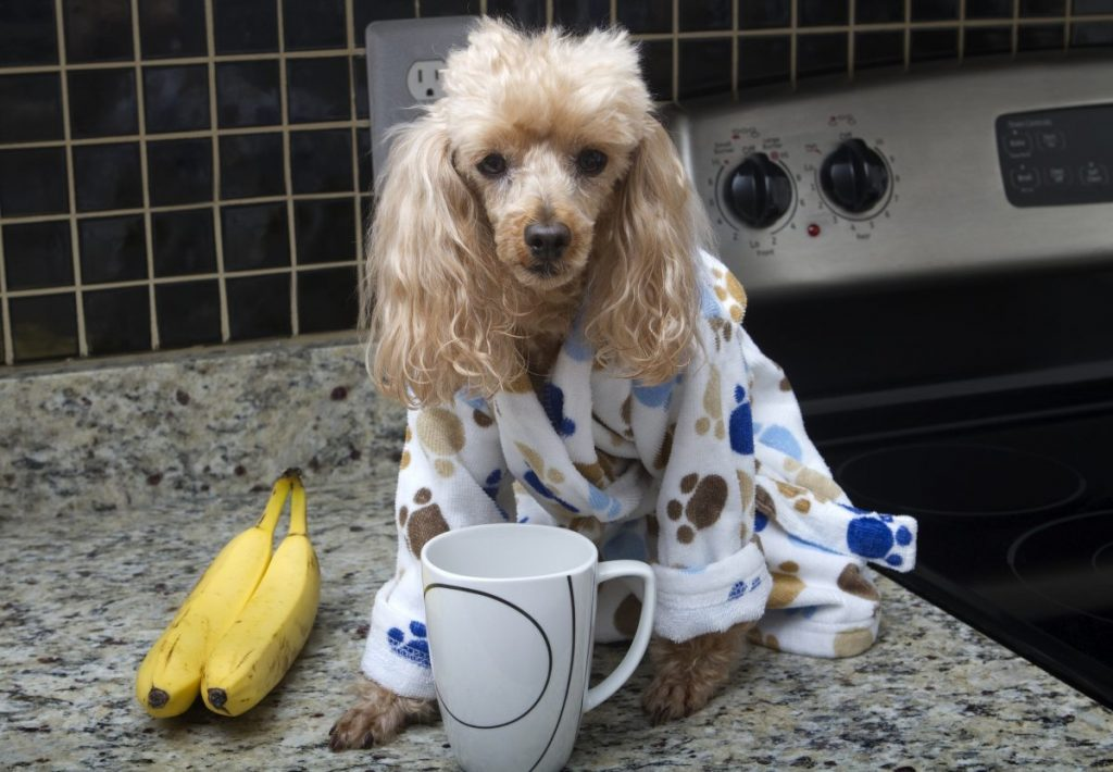 poodle having breakfast