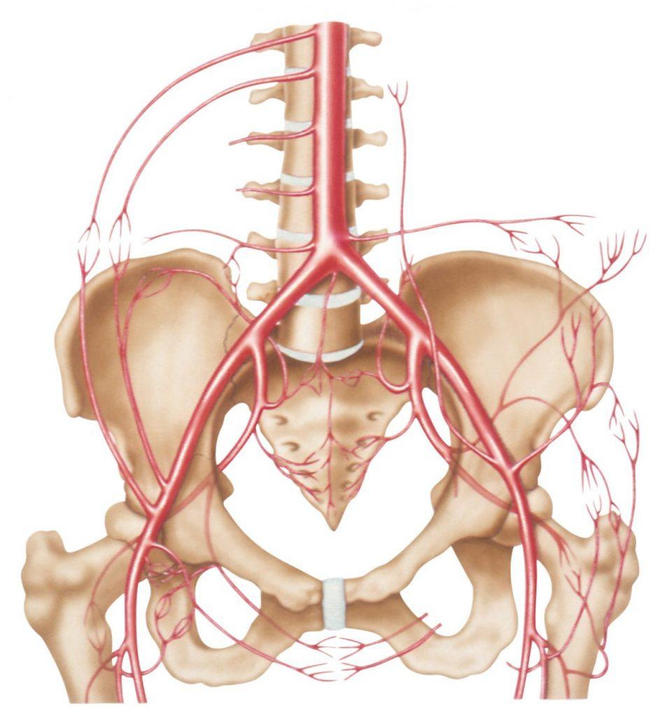 external-iliac-artery lumbar-spine