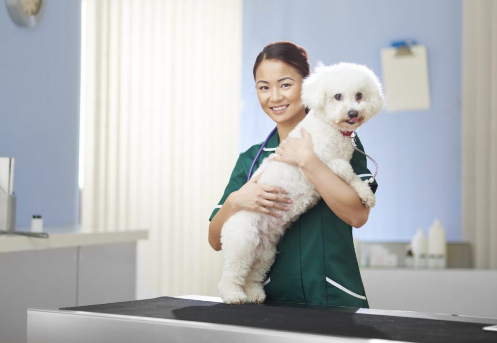 Smiling veterinarian holds Bichon Frise