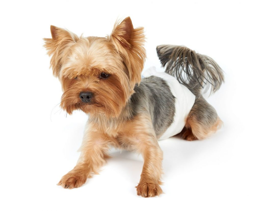 Yorkie wearing diaper, white background