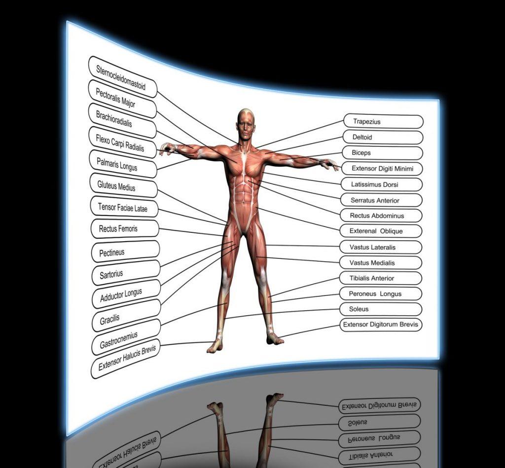 intermediate deep anterior compartment forearm