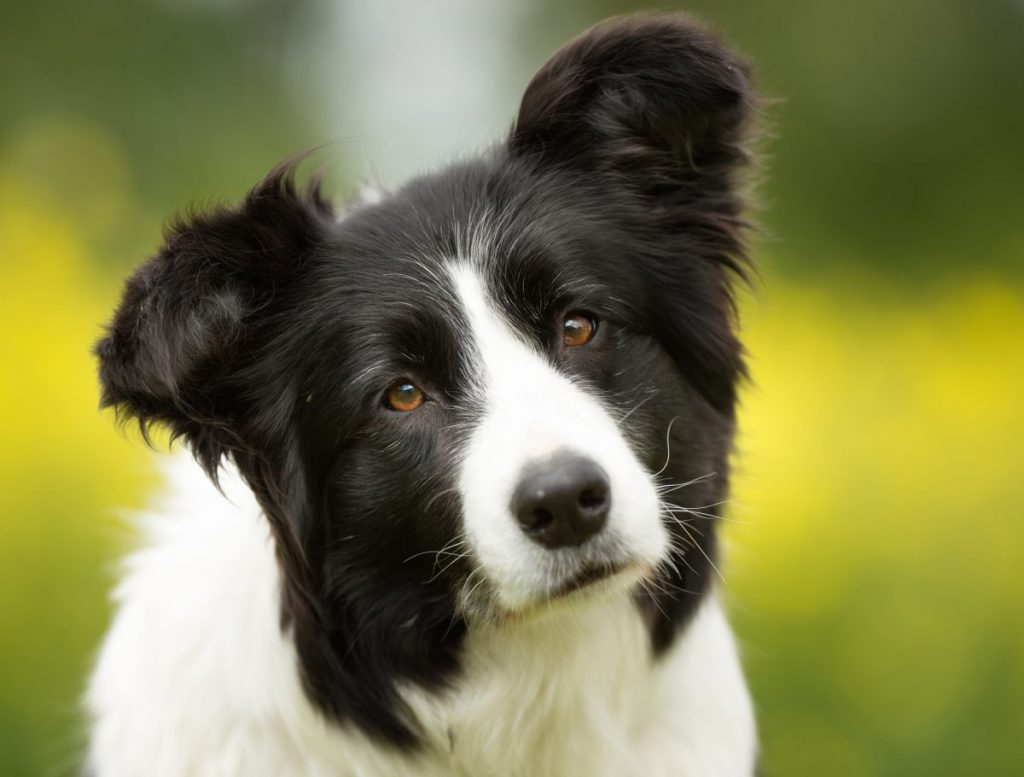 Curious black-and-white border collie