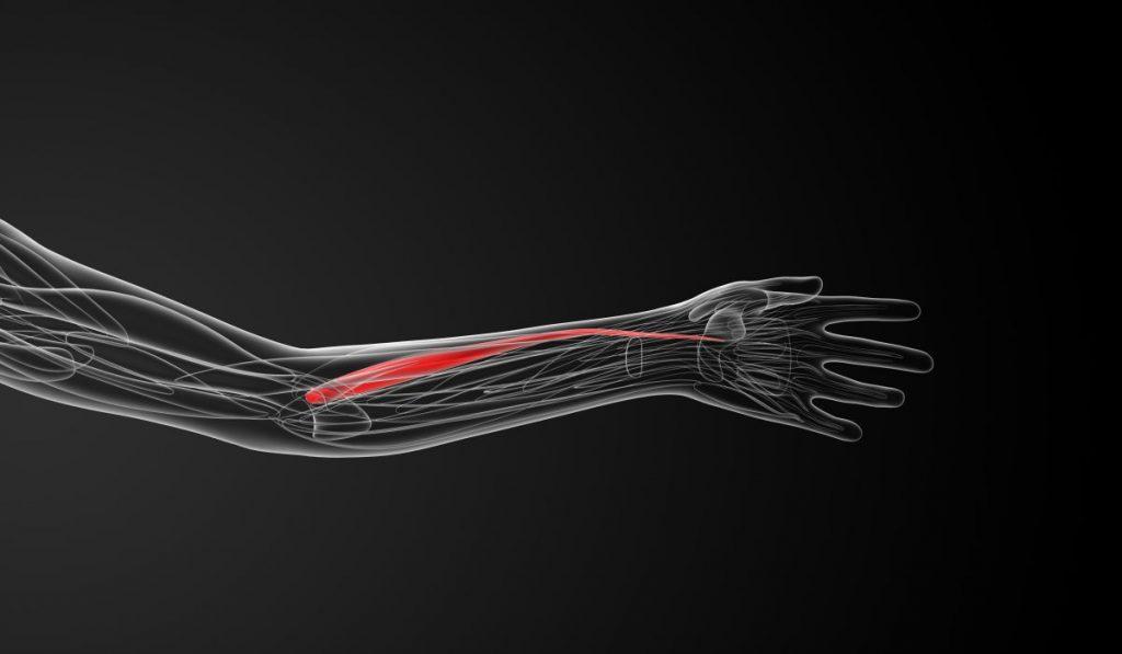 superficial layer anterior forearm
