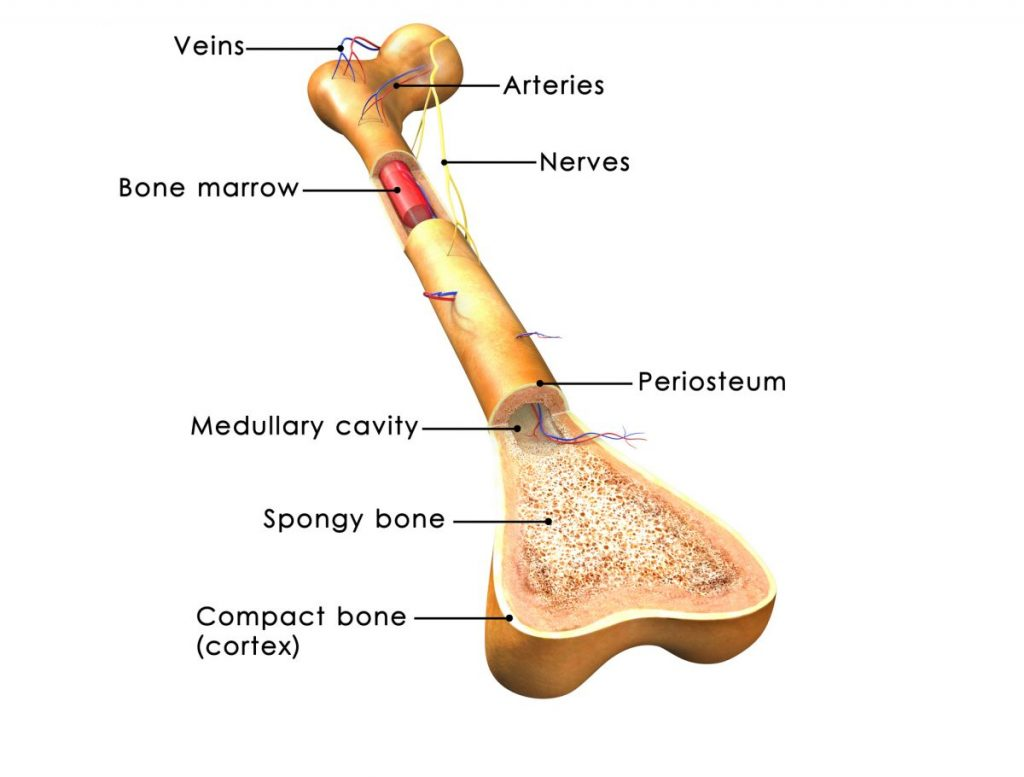 long bone cross section