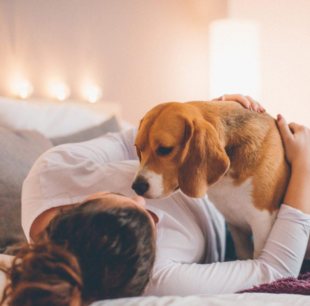 Beagle looking at woman