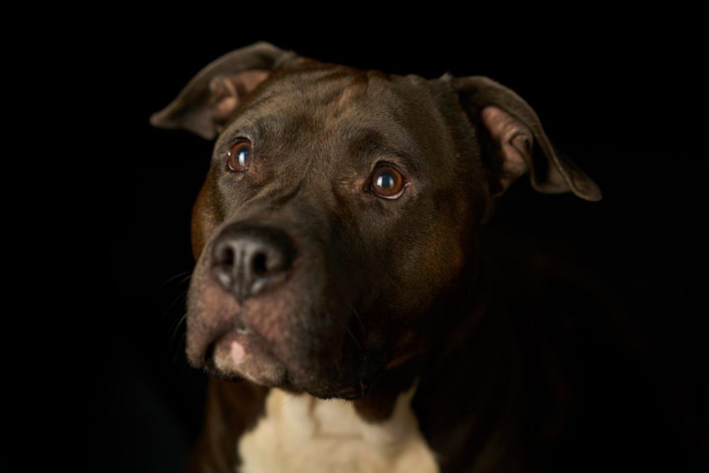 Close-up of black-and-white Staffordshire terrier