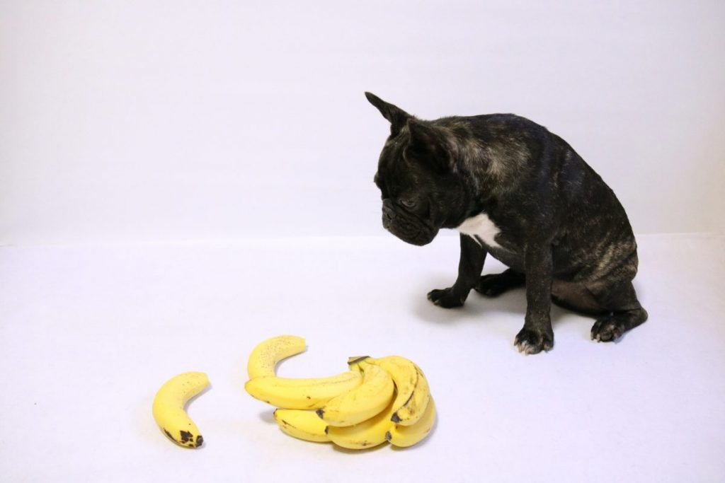 frenchie and banana peel