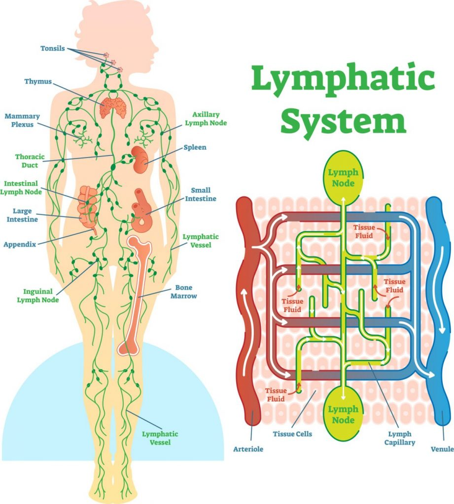 Lymphatic System and Castleman Disease