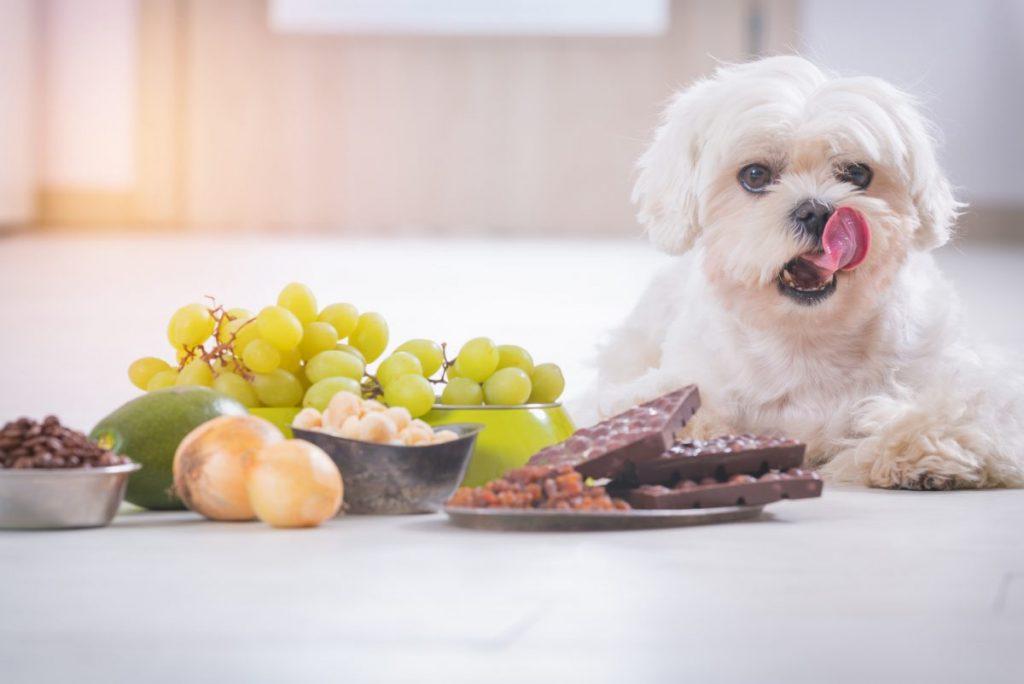 Dog with toxic food