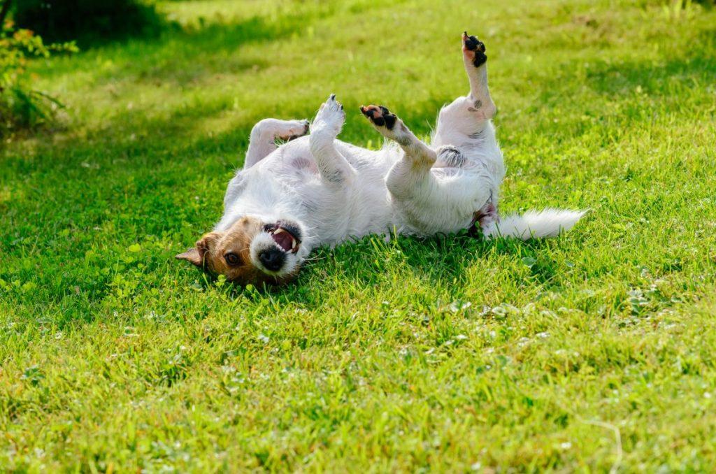 Small dog rolling around