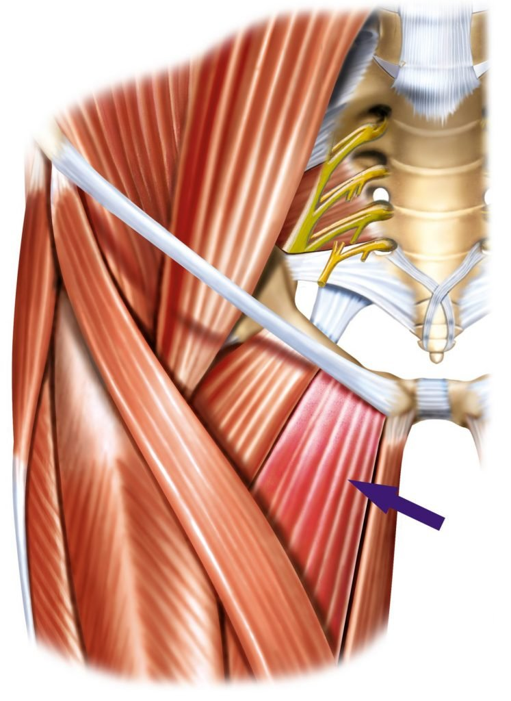 femoral-triangle, inguinal-ligament