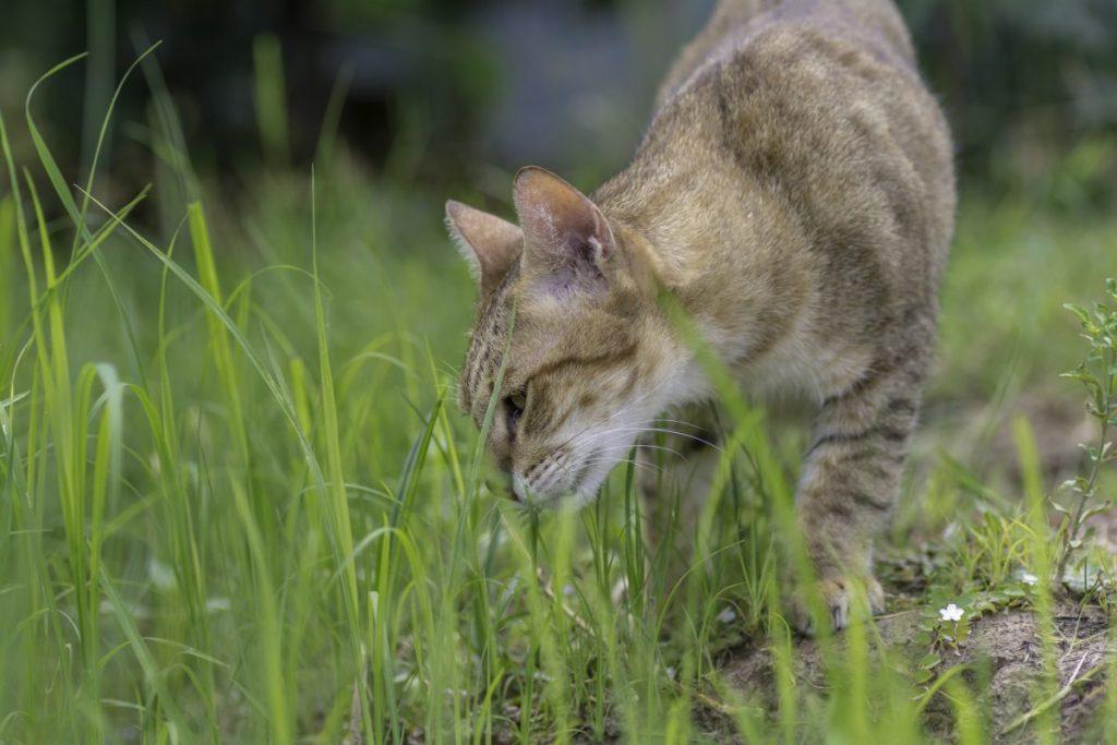 Orange cat sniffing grass