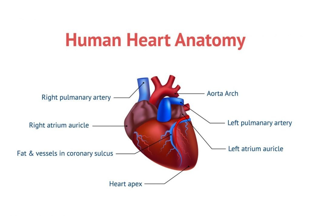 heart anatomy diagram