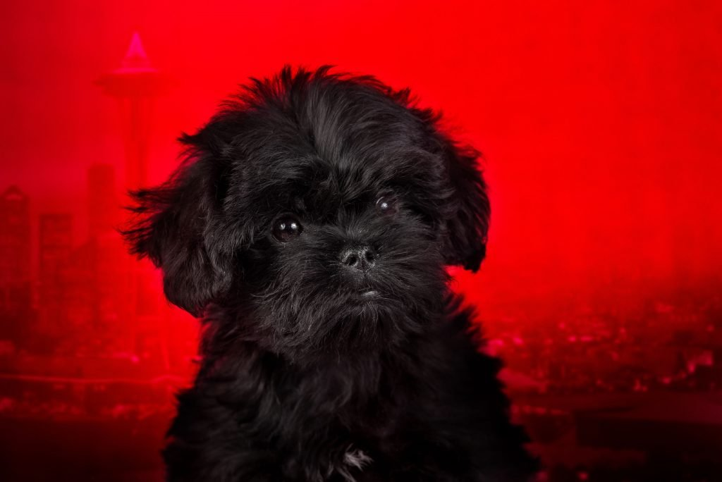 Affenpinscher puppy on a red background. Silhouette of an urban landscape.