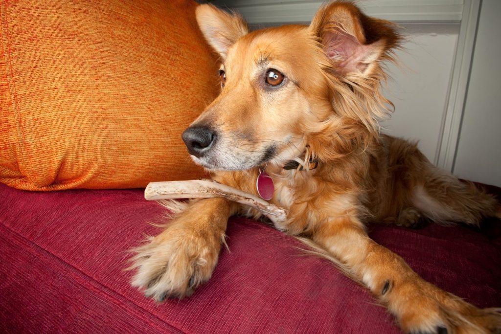 Dog on a sofa