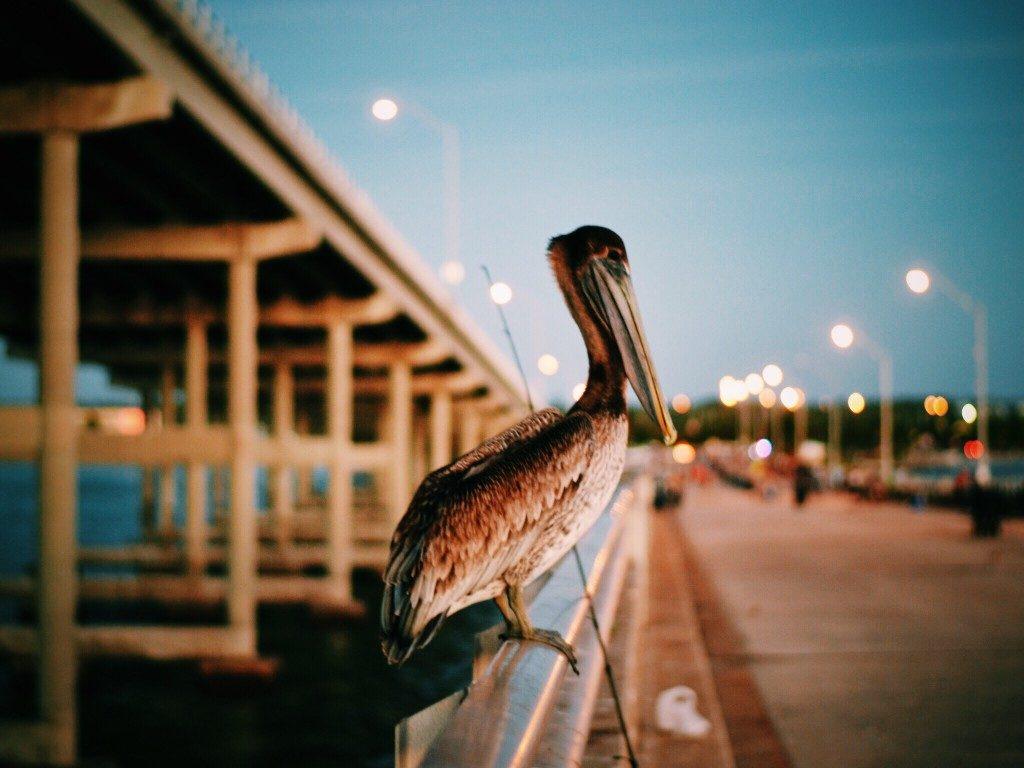 florida pelican states